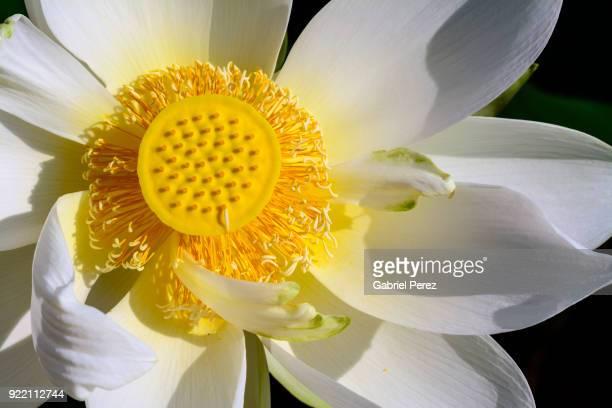 A Macro Closeup of a Symbolic Lotus Flower