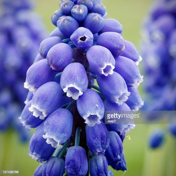 macro close-up of blue grape hyacinth against a green background - grape hyacinth stock pictures, royalty-free photos & images