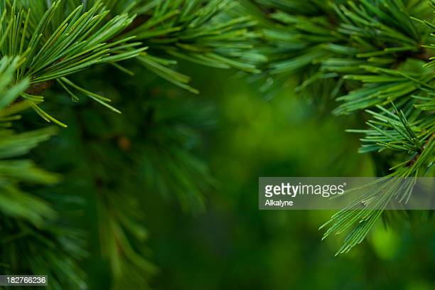 macro close-up of bright green fir tree branches - evergreen stock pictures, royalty-free photos & images