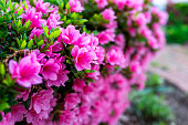 Macro closeup of many pink rhododendron flowers showing closeup of texture with green leaves in garden park