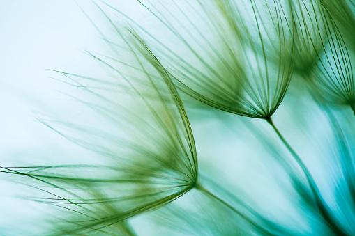 Macro dandelion seed - gettyimageskorea