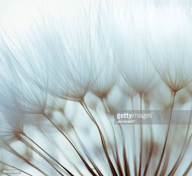 macro dandelion seed - tranquil scene stock pictures, royalty-free photos & images