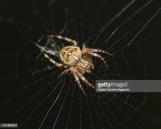 Macro detail of a European garden spider at the centre of a web taken on September 9 2009