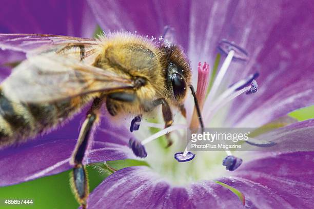 Macro detail of a honey bee gathering nectar from a purple flower, taken on May 21, 2014.