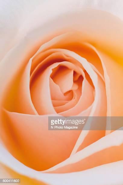 Macro detail of a peachcoloured rose flower taken on July 28 2014