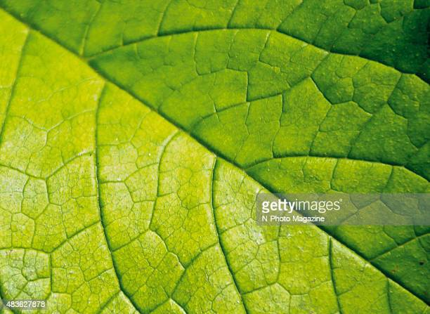 Macro detail of the veins on a bright green leaf taken on June 19 2014