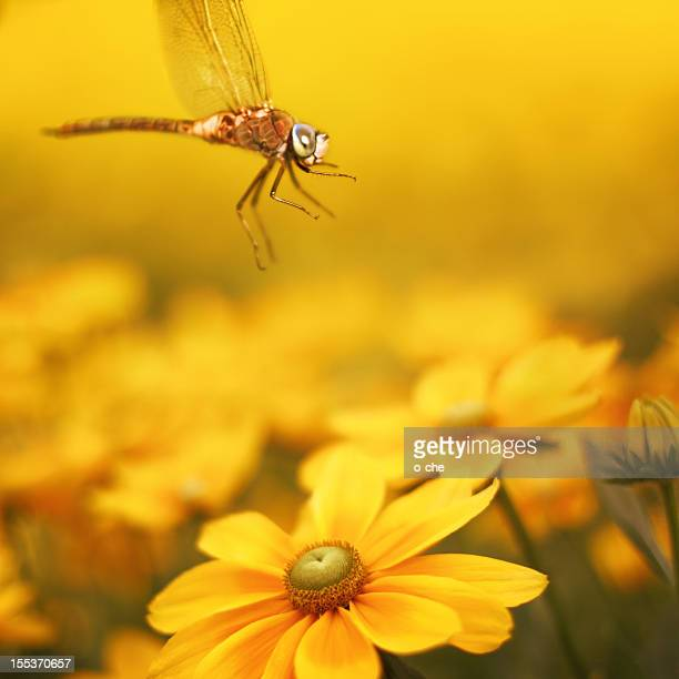 Macro dragonfly and yellow flower