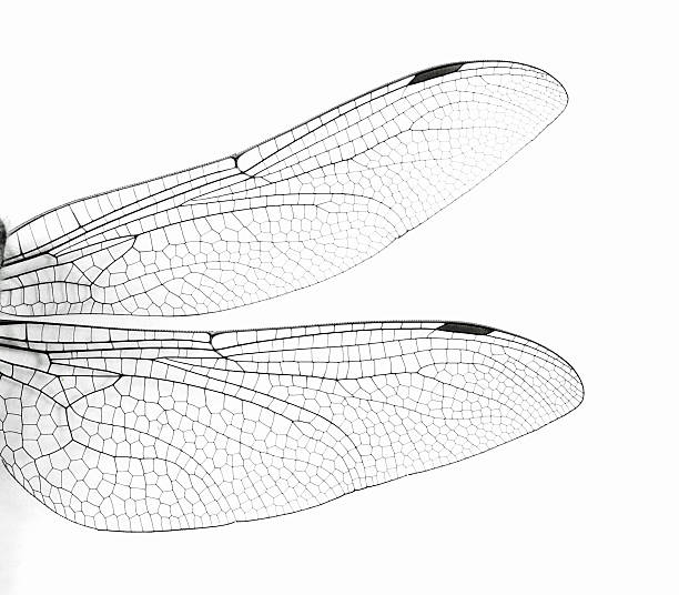 macro dragonfly wings photos com