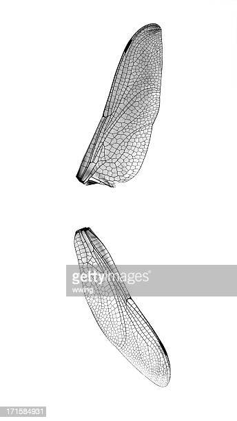 Macro Dragonfly Wings