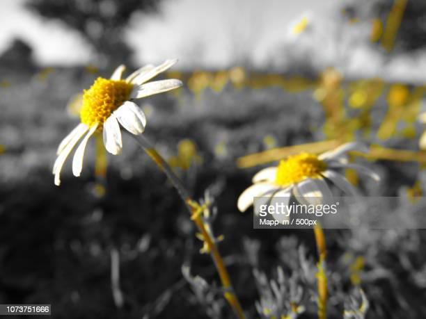 macro en blanco y negro... y amarillo - blanco y negro photos et images de collection