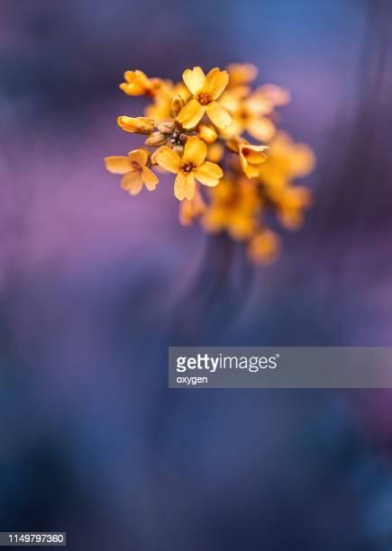 Macro Fine Art yellow Flowers on Violet blured background