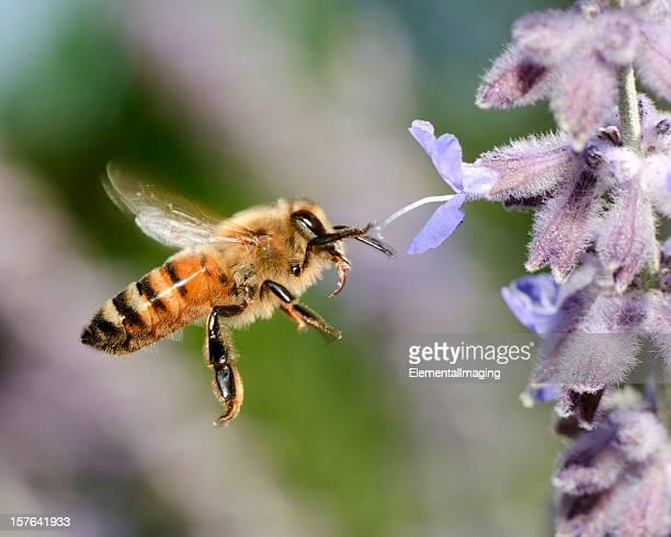 Macro Flying Honey Bee (Apis mellifera) Landing on Purple Flowers