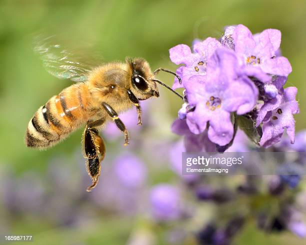 macro flying honey bee (apis mellifera) landing on purple flowers - honey bee stock pictures, royalty-free photos & images