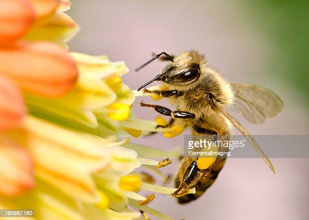 macro flying honey bee (apis mellifera) landing on yellow flowers - honey bee stock pictures, royalty-free photos & images