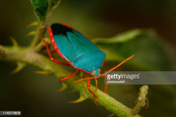 macro image of a blue stink bug - corcovado stock pictures, royalty-free photos & images
