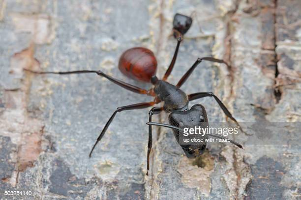 Macro image of a Giant Forest Ant (Camponotus gigas) with a decapitated ant head locked on to one of its legs