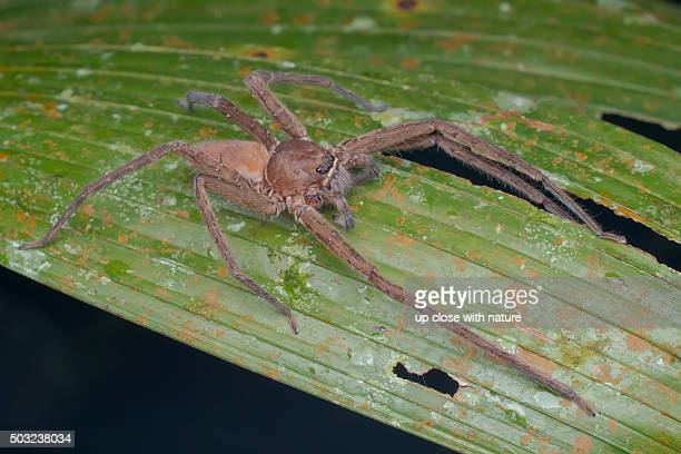 macro image of a huntsman spider (heteropoda sp.) on a palm leaf - huntsman spider stock pictures, royalty-free photos & images