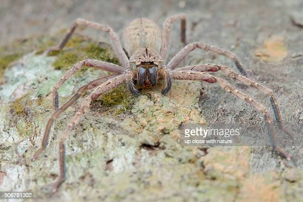 macro image of a huntsman spider (gnathopalystes sp.) on a tree trunk , ulu selangor, selangor, malaysia - huntsman spider stock pictures, royalty-free photos & images