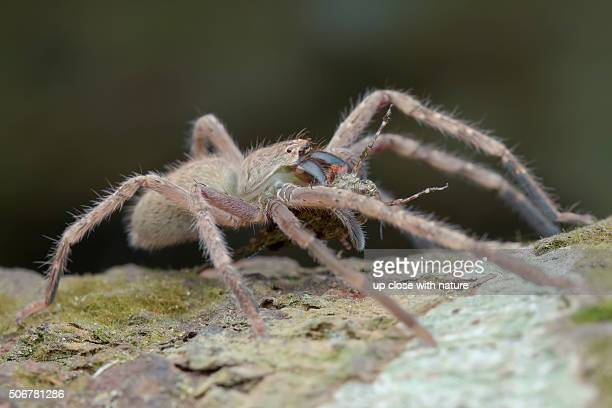 macro image of a huntsman spider (gnathopalystes sp.) with grouse locust prey, ulu selangor, selangor, malaysia - huntsman spider stock pictures, royalty-free photos & images