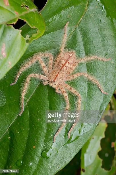 macro image of a juvenile david bowie's huntsman spider (heteropoda davidbowie) on a green leaf - huntsman spider stock pictures, royalty-free photos & images