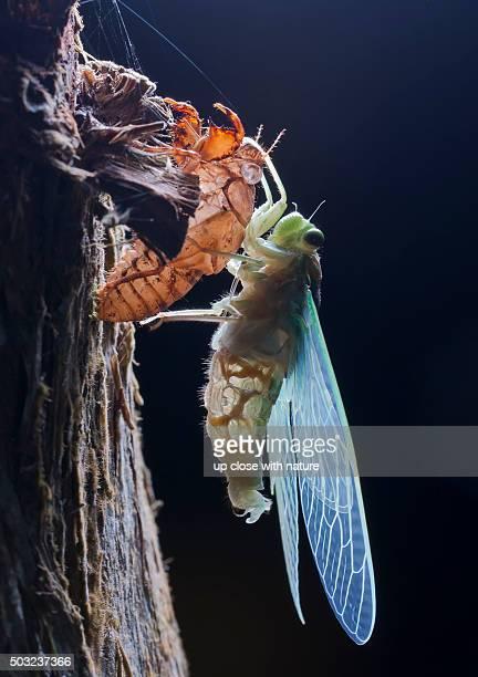Macro image of a newly emerged cicada perched on its old exoskeleton