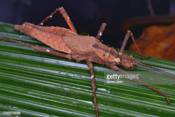 macro image of a stick insect from borneo forest - kissing bug stock photos and pictures