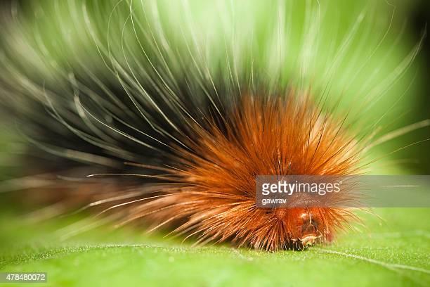 image de Macro Phalène tigre des jardins caterpillar sur une feuille.