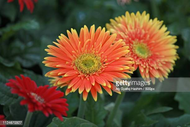 macro image - gerbera daisy stock pictures, royalty-free photos & images