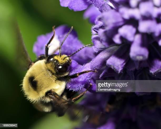 Macro insecte American Bumble Bee (Bombus pensylvanicus) Vol