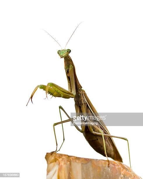Macro Insect Brown European Praying Mantis (Mantis religiosa) on White