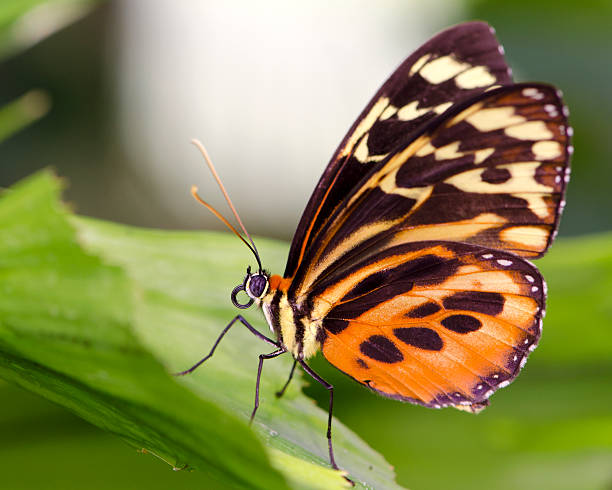 Macro Insect Common Tiger Glassywing Butterfly (Tithorea harmonia)
