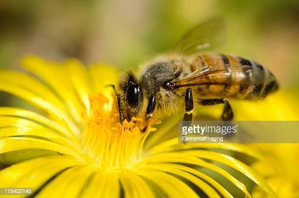 マクロ昆虫ミツバチ(api mellifera )にイエローのフラワー - 花頭 ストックフォトと画像