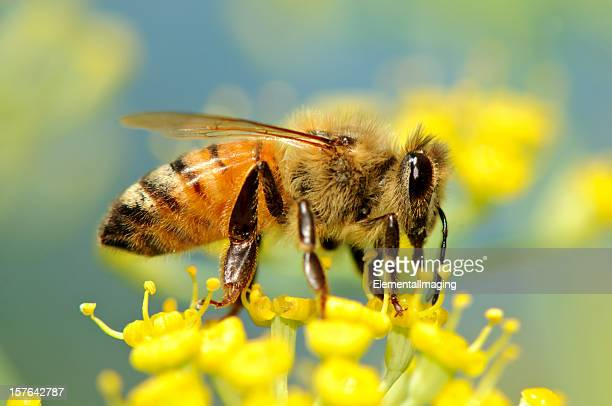 Macro Insect Honey Bee (Apis mellifera) on Yellow Flowers