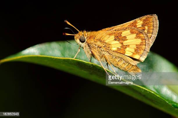macro insecte peck de capitaine moth (polites peckius - papillon de nuit photos et images de collection