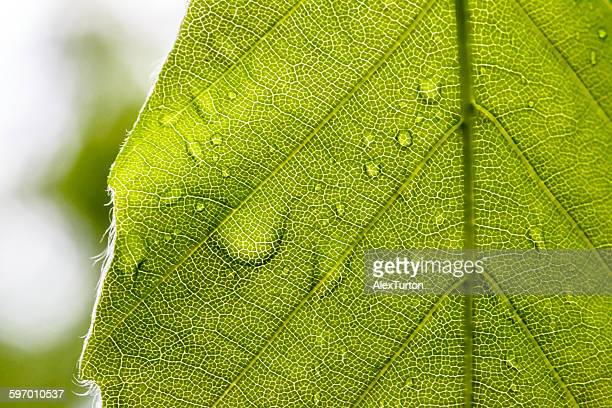 Macro leaf texture with veins and water droplet