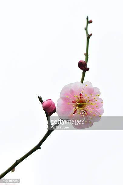 macro nature photography - peach blossom bildbanksfoton och bilder