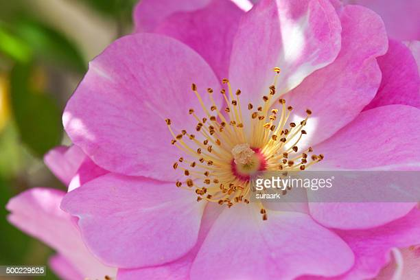 macro nature photography - dog rose stock photos and pictures