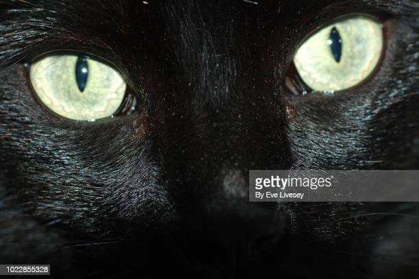 macro of a black cat eyes and face - young hairy pics stock photos and pictures