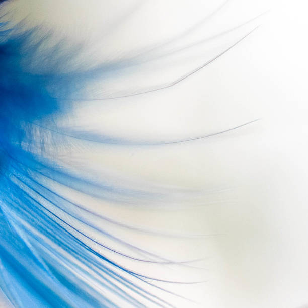 Macro of a blue feather on white background
