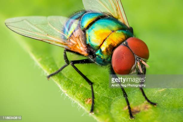 macro of a colorful garden fly - fly insect stock pictures, royalty-free photos & images