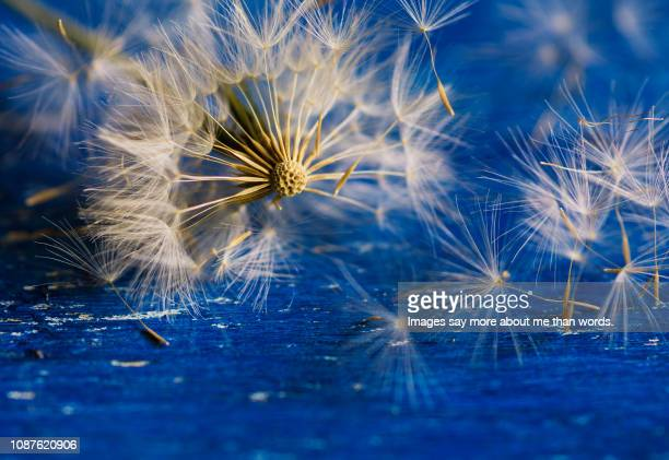 A macro of a dandelion spreading its seeds over blue background.