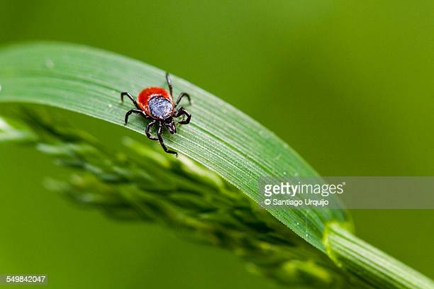 macro of a tick on an herb - pest stock photos and pictures