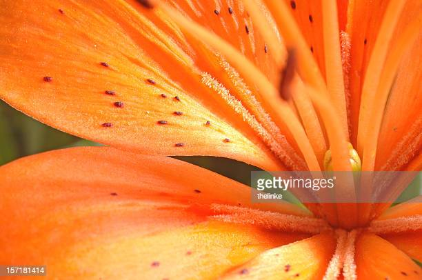 macro of a tiger lily