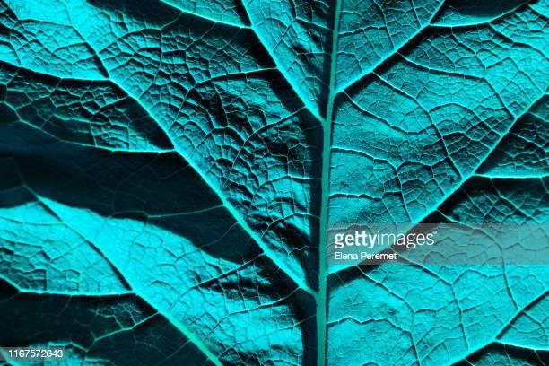 macro of a turquoise leaf showing the texture and patterns of nature - estampa de folha - fotografias e filmes do acervo