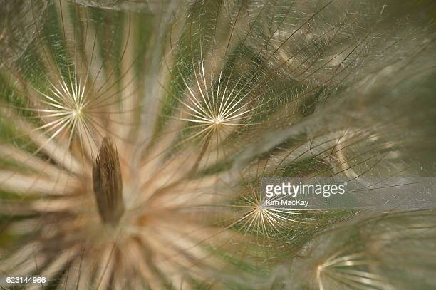 macro of a western salsify seed head - canadian prairies stock photos and pictures