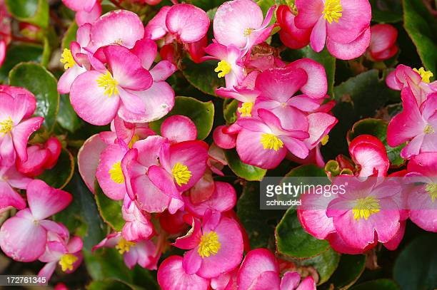 macro of an ice begonia - begonia stock pictures, royalty-free photos & images