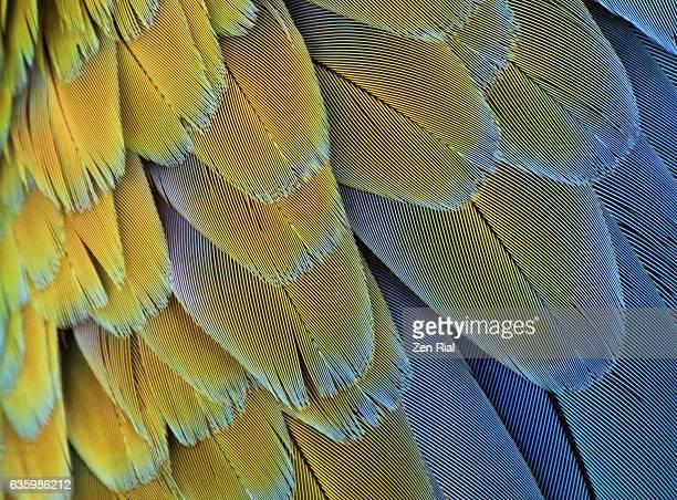 Macro of bird feathers - Blue and Yellow macaw, Ara ararauna