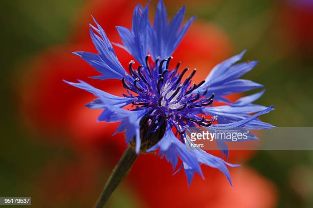 macro of blue Cornflower