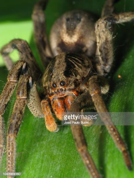 macro of brazilian wolf spider on a leaf - sorocaba stock pictures, royalty-free photos & images
