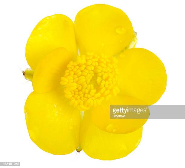 macro of creeping buttercup flower isolated - buttercup stock pictures, royalty-free photos & images